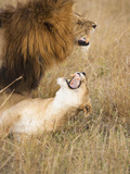 Lions Mating (Panthera Leo), Masai Mara, Kenya Photographic Print by Mary Ann McDonald