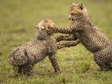 Cheetah Cubs (Acinonyx Jubatus) Playing in the Masai Mara Game Reserve, Kenya Photographic Print by Joe McDonald