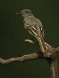 Great Crested Flycatcher, Myiarchus Crinitus, North America Reproduction photographique par Joe McDonald