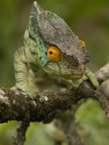 Parsons Chameleon (Calumma Parsonii) Photographic Print by Joe McDonald