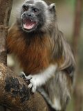 White-Footed Tamarin, Silvery-Brown Tamarin, or Bare-Faced Tamarin (Saguinus Leucopus) Photographic Print by Thomas Marent