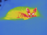 Thermogram - Cat Photographic Print by Chuck Swartzell