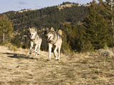 Gray Wolves (Canis Lupus) Running, Montana, USA Photographic Print by Joe McDonald
