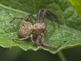Transverse-Banded Crab Spider (Xysticus Transversatus) Photographic Print by Robert Servranckx