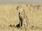 Cheetah Calling, East Africa Photographic Print by Joe McDonald