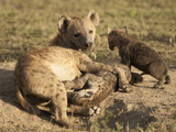 Spotted Hyena at Den Opening with Young Nursing (Crocuta Crocuta), Serengeti National Park Photographic Print by Mary Ann McDonald