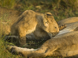 African Lion Cub Nursing (Panthera Leo), Masai Mara, Kenya Photographic Print by Joe McDonald