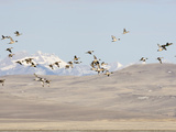 Pintail Ducks (Anas Acuta), Rocky Mountains, Montana, USA Photographic Print by Neal Mischler
