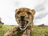 Cheetah Cub Snarling (Acinonyx Jubatus), Masai Mara, Kenya Photographic Print by Joe McDonald