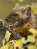 American Marten (Martes Americana) Photographic Print by Joe McDonald