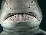 Sand Tiger Shark (Carcharhinus Taurus), California, USA Photographic Print by Marty Snyderman