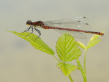 Male Large Red Damselfly (Pyrrhosoma Nymphula), Italy Photographic Print by Fabio Pupin