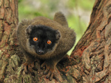 Brown Lemur (Eulemur Fulvus Fulvus), Andasibe-Mantadia National Park, Madagascar Photographic Print by Thomas Marent