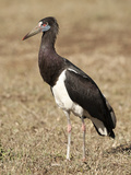Abdim's Stork (Ciconia Abdimii), Ngorongoro Conservation Area, National Park, Tanzania, Africa Photographic Print by Joe McDonald