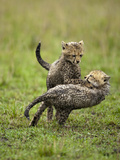 Cheetah (Acinonyx Jubatus) Cubs Play Fighting, Masai Mara Game Reserve, Kenya, Africa Photographic Print by Mary Ann McDonald