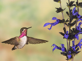 Calliope Hummingbird (Stellula Calliope) Male Flying at Salvia (Salvia Guaranitica) Photographic Print by Jack Milchanowski