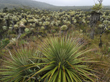 Bromeliads (Puya) and Frailejon (Espletia), Puracâ» National Park, Department Cauca, Colombia Photographic Print by Thomas Marent