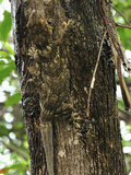 Madagascar Velvet Gecko Camouflaged on a Tree Trunk (Blaesodactylus Boivini) Photographic Print by Thomas Marent