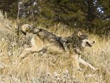 Gray Wolf (Canis Lupus) Running, Montana, USA Photographic Print by Joe McDonald