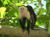 White-Throated Capuchin (Cebus Capucinus), Cahuita National Park, Costa Rica Photographie par Thomas Marent