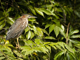 Green Heron Juvenile Acquiring Adult Plumage (Butorides Virescens), Costa Rica Photographic Print by Mary Ann McDonald