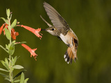 Rufous Hummingbird Immature Male (Selasphorus Rufus) Feeding at Zauschneria Latifolia Flowers, USA Photographic Print by Charles Melton
