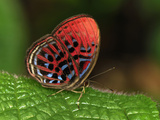 Malay Red Harlequin Butterfly (Paralaxita Damajanti), Danum Valley Conservation Area, Sabah Photographic Print by Thomas Marent