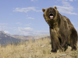 Grizzly Bear (Ursus Arctos Horribilis) with Mouth Open and Tongue Exposed, Western North America Photographic Print by Joe McDonald