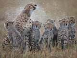 Female Cheetah (Acinonyx Jubatus) Shaking Water Off Fur and Soaking Cubs Photographic Print by Paul & Paveena McKenzie