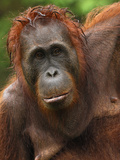 Borneo Orangutan Female after a Rain (Pongo Pygmaeus) Tanjung Puting National Park, Kalimantan Photographic Print by Thomas Marent