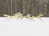 Gray Wolves (Canis Lupus) Running in the Snow with Birch Trees in Background, Northern Minnesota Fotografisk tryk af Jack Milchanowski