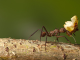 Worker Leafcutter Ant (Atta Colombica) Transporting Leaves, Costa Rica Photographic Print by Joe McDonald