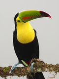 Keel-Billed Toucan Adult in Breeding Plumage (Ramphastos Sulfuratus), Laguana Del Lagarto Photographie par Mary Ann McDonald