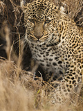 African Leopard Camouflaged in Dead Grasses (Panthera Pardus), Masai Mara Game Reserve, Kenya Photographic Print by Joe McDonald