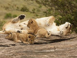 African Lioness (Panthera Leo) Nursing Cubs in the Masai Mara Game Reserve, Kenya Photographic Print by Joe McDonald