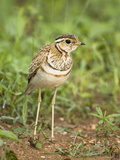 Heuglin's or Three-Banded Courser (Rhinoptilus Cinctus), Samburu, Kenya Photographic Print by Mary Ann McDonald