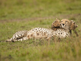 Cheetah (Acinonyx Jubatus) Playing with Cubs, Masai Mara Game Reserve, Kenya Photographic Print by Joe McDonald