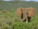 African Elephant (Loxodonta Africana) Walking in the Masai Mara, Kenya Photographic Print by Joe McDonald