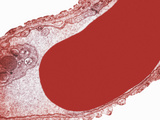Cross-Section of an Alveolar Capillary Showing a Red Blood Cell or Erythrocyte, TEM X30,000 Photographic Print by David Phillips