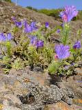 La Gomera Gecko (Tarentola Gomerensis), La Gomera, Canary Islands Photographic Print by Fabio Pupin