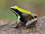 Green Mantella (Mantella Viridis), Montagne Des Franais Reserve Antsiranana, Northern Madagascar Photographic Print by Thomas Marent