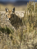 Coyote Hunting (Canis Latrans), Montana, USA Photographic Print by Joe McDonald