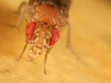 Fruit Fly (Drosophila Melanogaster) Eating Fruit Photographic Print by Mark Plonsky