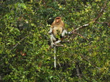 Male Proboscis Monkey (Nasalis Larvatus), Tanjung Puting National Park, Kalimantan,  Sabah Photographic Print by Thomas Marent