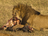 Male Lion (Panthera Leo) Feeding on Kill, Masai Mara Game Reserve, Kenya, Africa Photographic Print by Joe McDonald