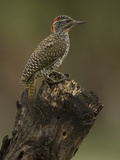 Golden-Tailed Woodpecker, Campethera Albingoni, Africa Photographic Print by Joe McDonald