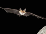 Pallid Bat (Antrozous Pallidus), Flying, Searching for Food, Arizona, USA, Captive Photographic Print by Joe McDonald
