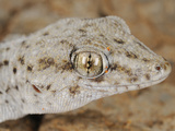 Tenerife Wall Gecko Head (Tarentola Delalandii), Endemic on the Canary Islands Photographic Print by Fabio Pupin