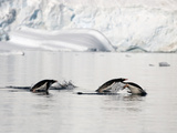 Adelie Penguins in Water (Pygoscelis Adeliae) Photographic Print by Louise Murray