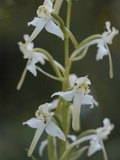 Greater Butterfly Orchid (Platanthera Chlorantha) Photographic Print by Phillip Smith